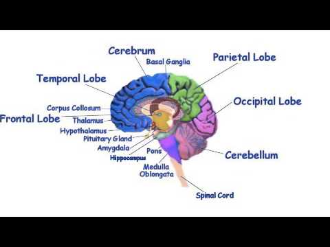 Ap psych what does the brain do youtube ap psych what does the brain do ccuart Choice Image