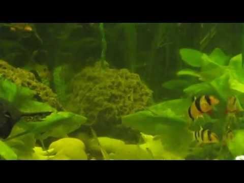 Боция-клоун (Botia macracantha) - аквариумная рыбка семейства Вьюновые (Cobitidae).