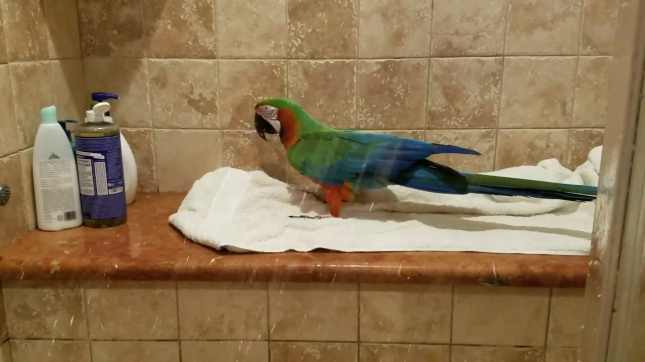 Rocky my Harlequin Macaw Singing In The Shower  PARROT