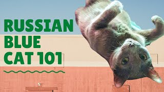 Russian Blue Cat 101: Facts and Trivia