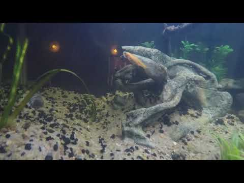Pictus And Black Fin Shark Catfish With Tiger Barbs And Mollies