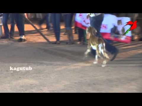 The Saluki, Arabic Royal Dog of Egypt or Persian Greyhound