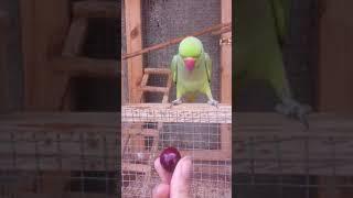 Parrot says eww to cherry