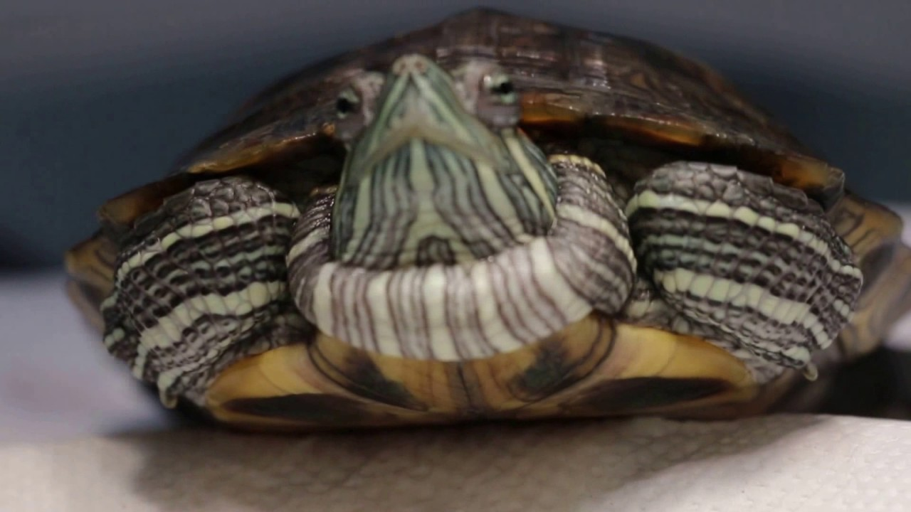 A 2 year old red eared slider has a large neck swelling
