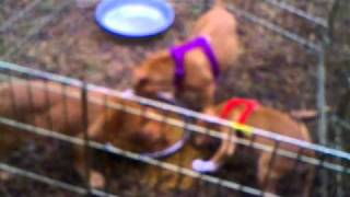 Dogue De Bordeaux Cross (french Mastiff) Puppies 9 Weeks