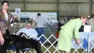 Best Of Breed Doberman Pinscher Houston Dog Show 3-20-11