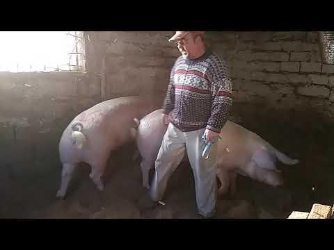 Свиньи на запаренном корме