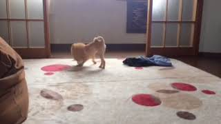 【関連動画】 12時間お留守番のポメラニアンが発狂 https://youtu.be/P1...