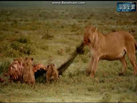 SINH HỌC7 xem băng hình về đời sống của sư tử