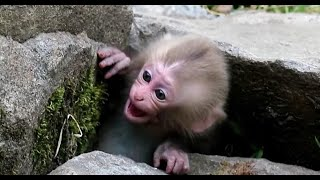 Crying baby monkey, But mom ignored