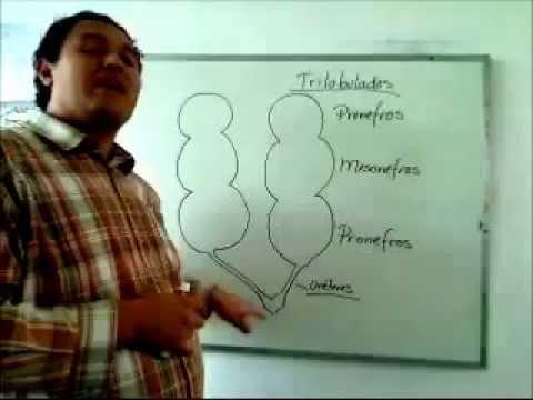 APARATO URINARIO DEL AVE - YouTube
