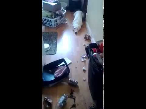 Guilty Dog Gets Busted In Trash!