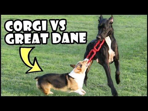 CORGI vs GREAT DANE | Short Vs Tall Dogs