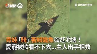 青蛙騎士駕鱘龍魚嗨逛池塘!主人看不下去愛寵被欺負|寵物|馴魚高手