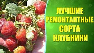 видео Ремонтантные сорта клубники: фото лучших безусых сортов