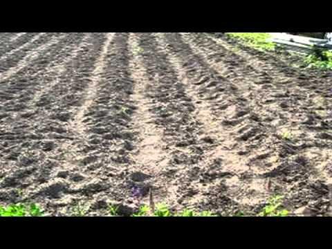 видео: Картофель под соломой 2013г