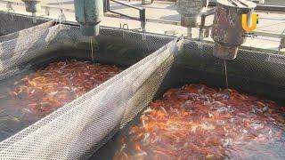 В Кармановской водохранилище поселились 20 тысяч мальков рыб