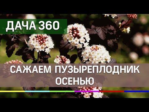 Высаживаем пузыреплодник осенью - ДАЧА 360