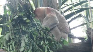 Любовные игры обезьян-носачей