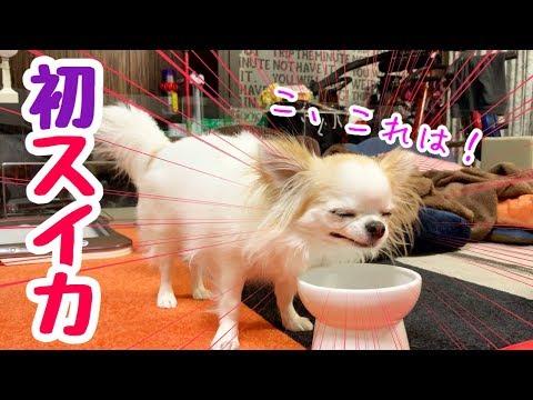 💖【平成最後の配信】生まれて初めてスイカを食べた妹チワワ【かわいい犬】【ペット動画】【chihuahua】【cute dog】【子犬】