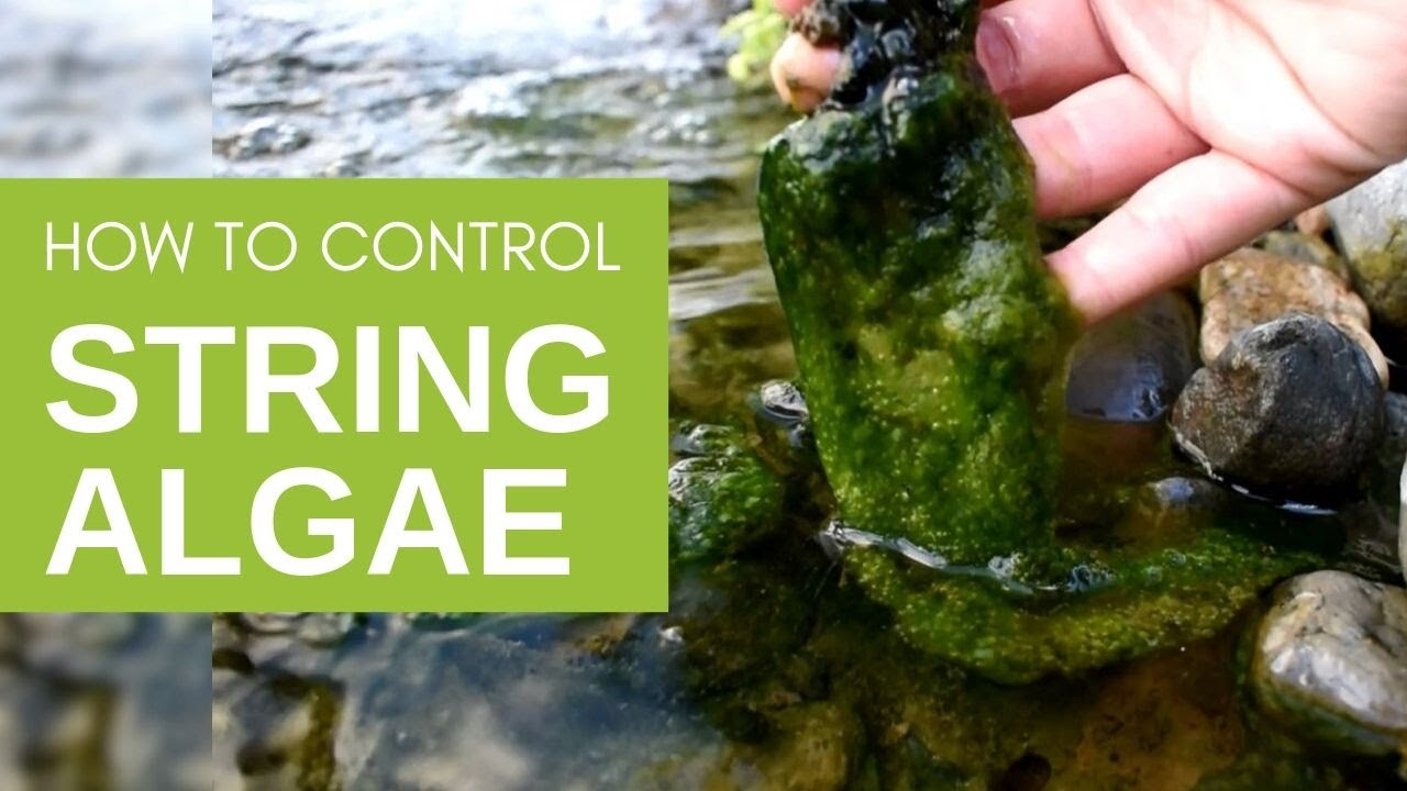 How To Get Rid Of String Algae In Your Pond