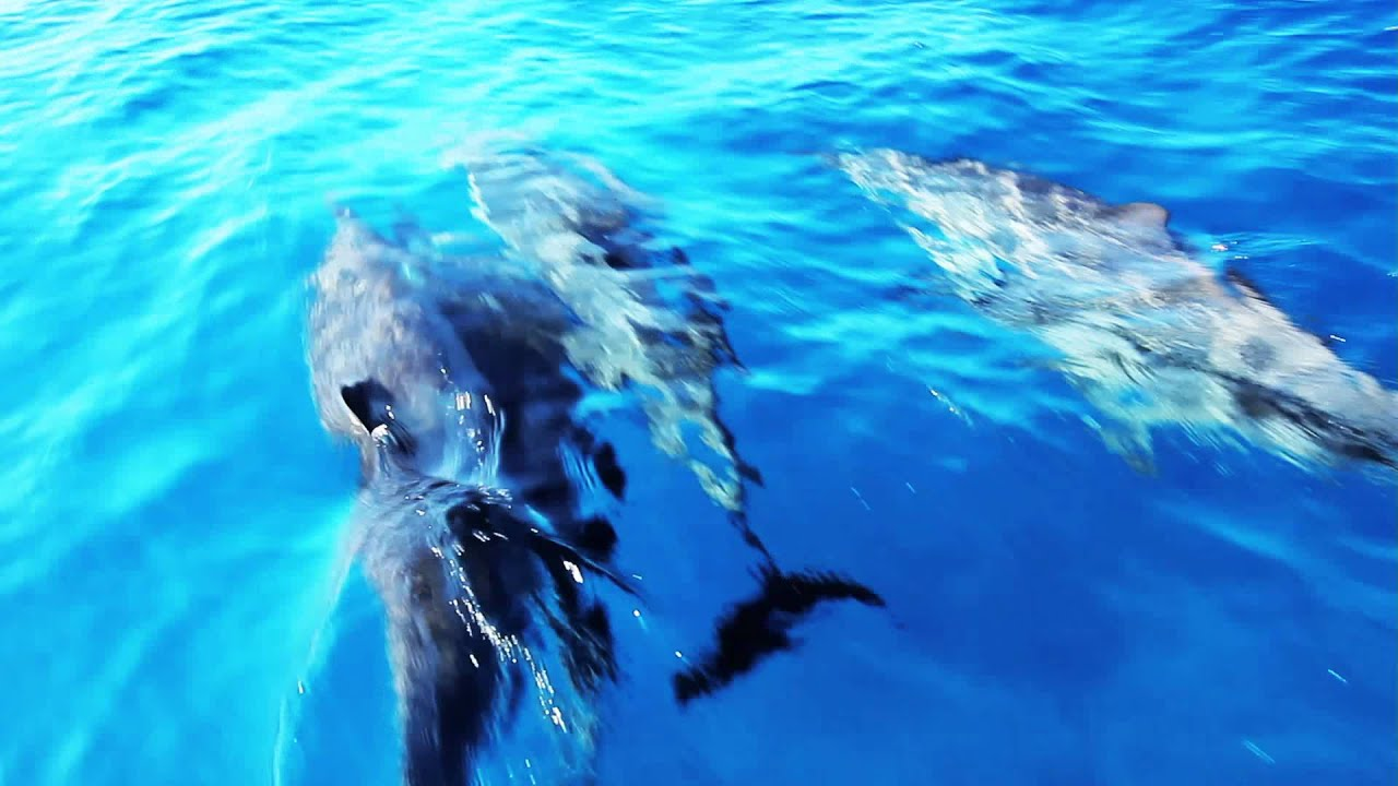 Swimming With Wild Dolphins The Big Island