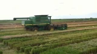 Cutting rice