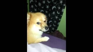 Pomeranian Cough
