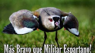 Más Bravo que Militar Espartano 😱 ( Tero - Alcaraván)