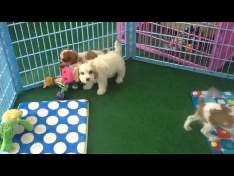 Cavalier King Charles Spaniels for sale at DCDogFinders