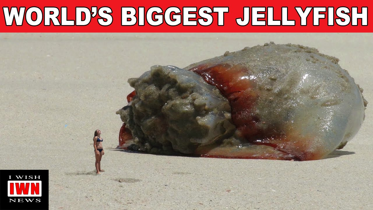 Colorado Jellyfish | More to Explore |Longest Jellyfish Ever Recorded