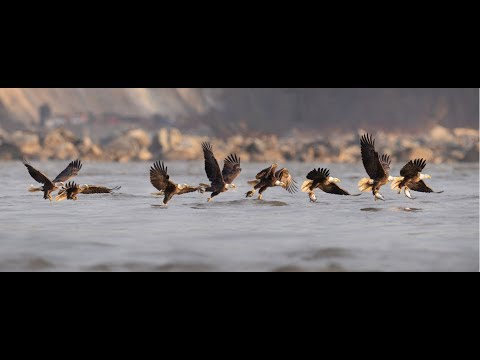 Creating a Wildlife Photo Sequence in Photoshop Tutorial - Bald Eagle Fishing thumbnail