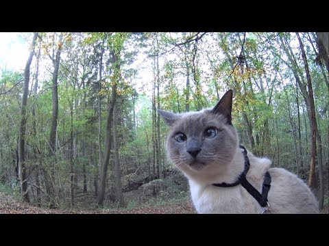 Siamese Cats explore new trail in an autumn forest (+ relax on trees & see dogs + ducks) off-leash
