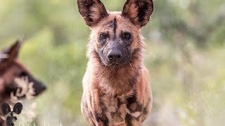 EWT & Lapalala Rescued Painted Dogs | An Update | Wed 27 May 2020