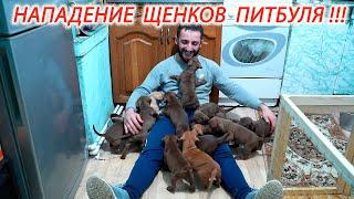 Нападение щенков питбуля на хозяина!!!)