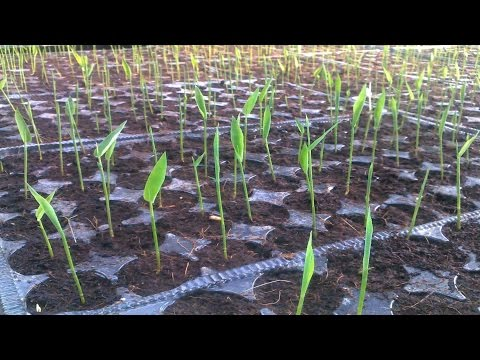 How to plant  Bamboo, a future of prosperity.