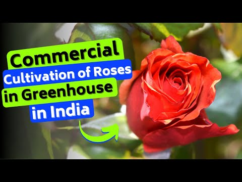 Commercial cultivation of Roses in Greenhouse in India