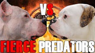 Dogo Argentino vs American Bulldog | American Bulldog vs Dogo Argentino | Guard Dogs | Billa Boyka |