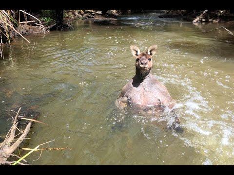 Kangaroo With Bulging Biceps Bathes In Creek