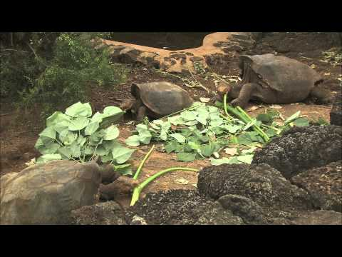 Galapagos Tortoise Conservation