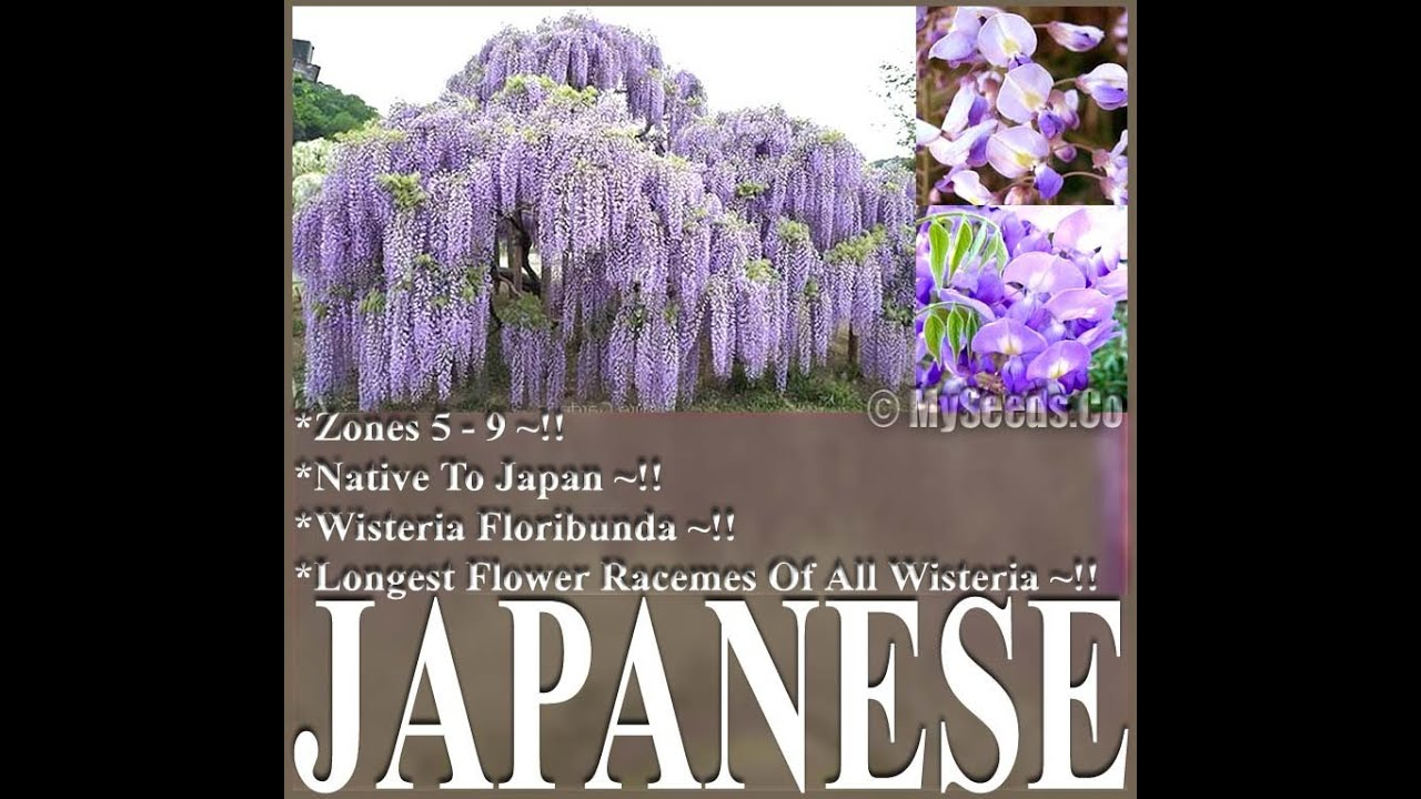 JAPANESE WISTERIA Wisteria Floribunda Seeds By WwwMySeedsCo - Beautiful wisteria plant japan 144 years old