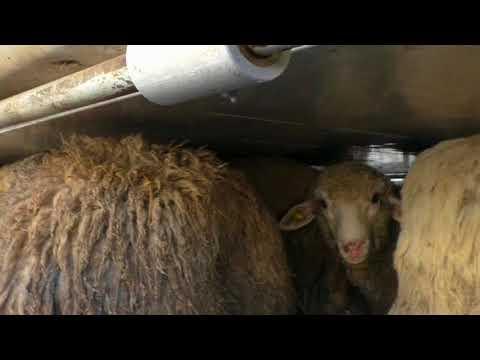 News Update European live animal trade raises major welfare concerns 18/09/17
