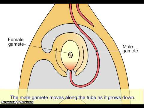 Sexual reproduction in a flowering plant