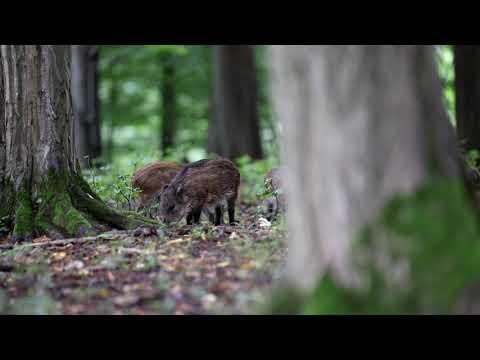 Selata divočáků - Video Čergov