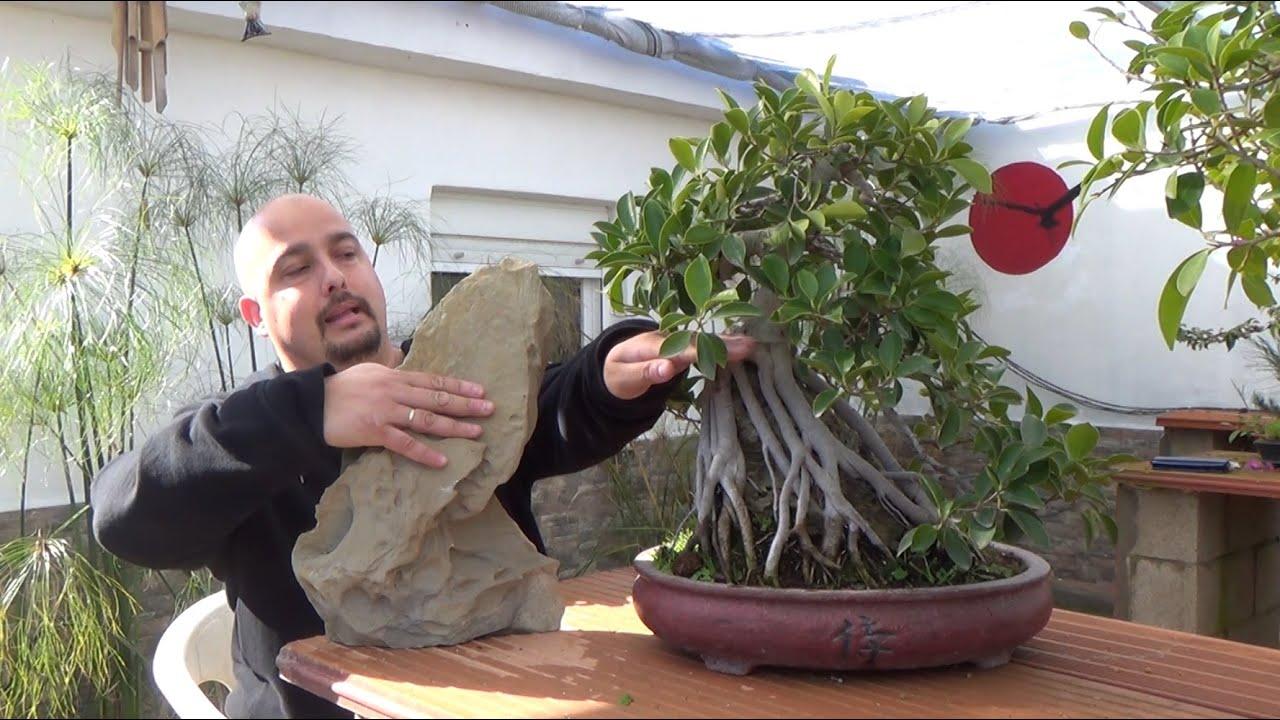 C mo hacer bonsai con ra ces sobre roca youtube for Bonsai vendo