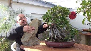 Como hacer bonsai con raíces sobre roca