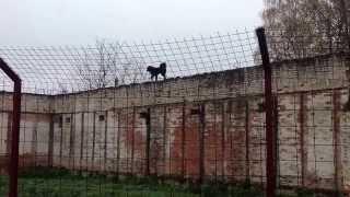 """Монгольская овчарка-банхар. Питомник """"Монголдог"""". Очкарик летает по стене."""