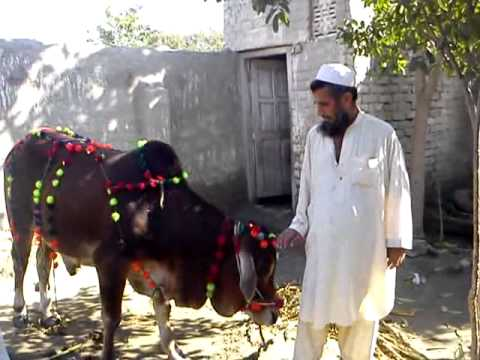 qurbani ox - photo #30