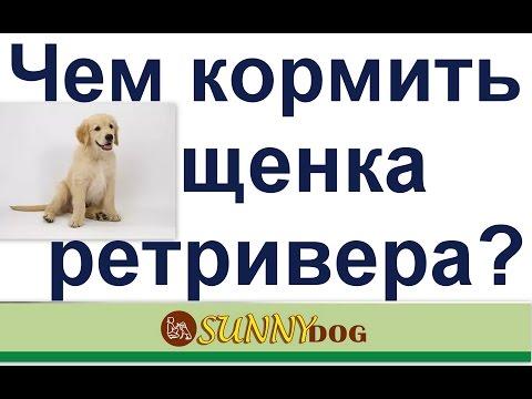 Чем кормить щенка ретривера? как правильно корить щенка ретривера?