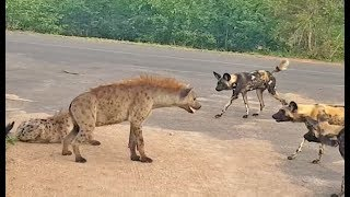 hyena-protects-den-from-intruding-wild-dogs